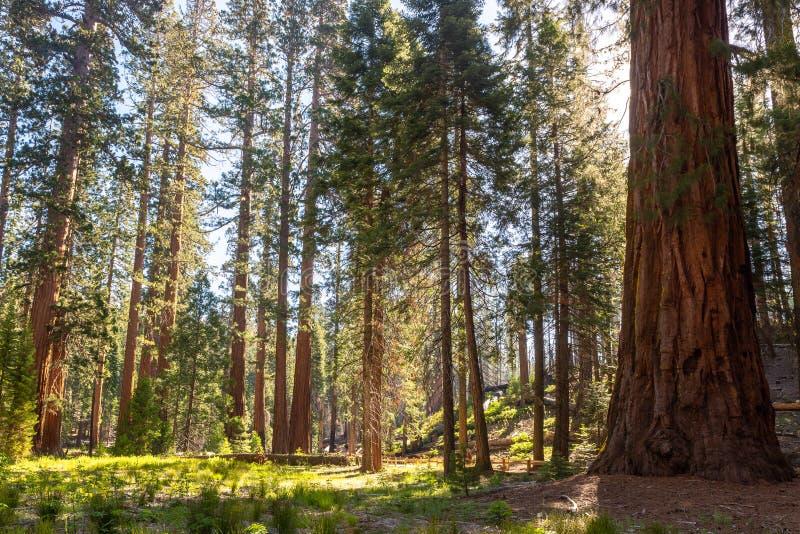 Mariposa gaj, Yosemite park narodowy, Kalifornia zdjęcie stock
