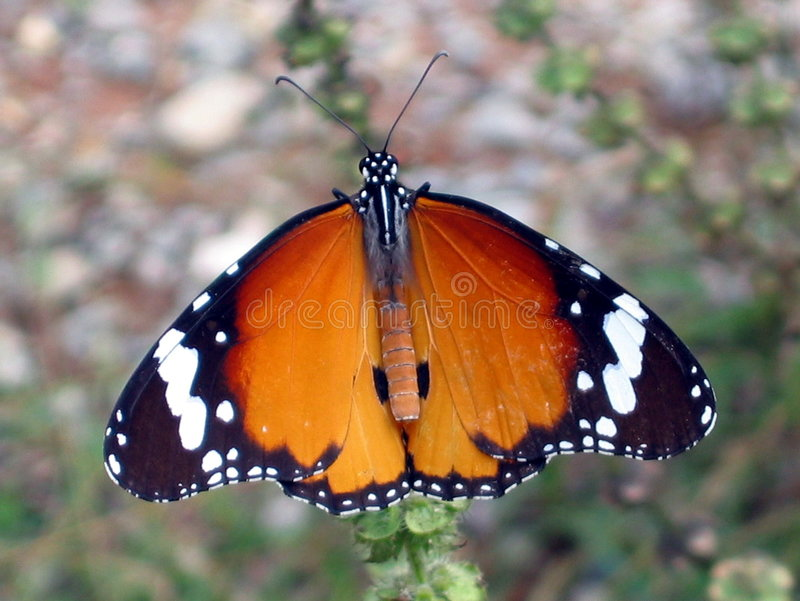 Mariposa gigante imagen de archivo