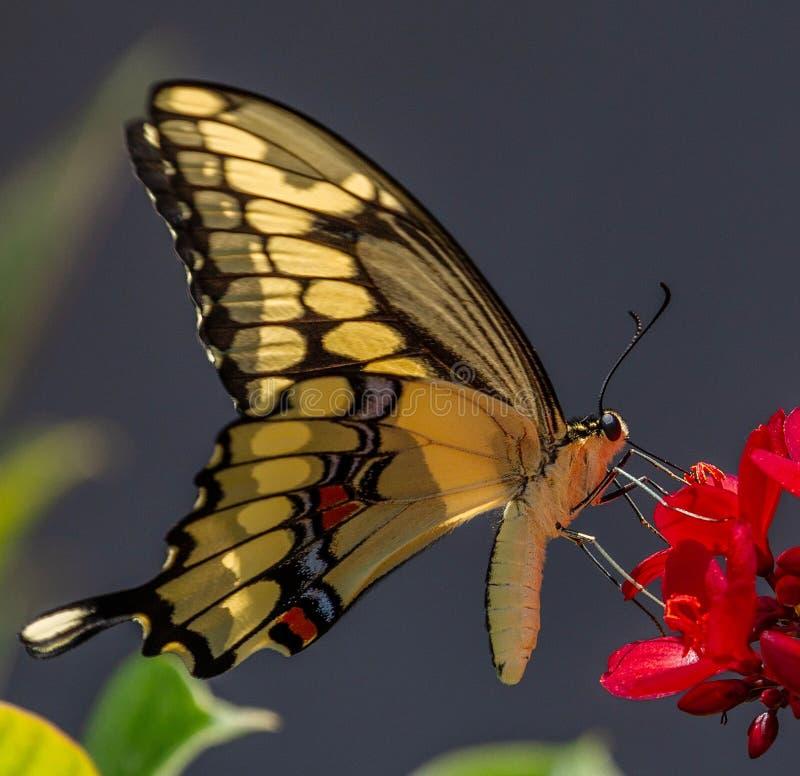 Mariposa gigante de Swallowtail en Jatropha imágenes de archivo libres de regalías