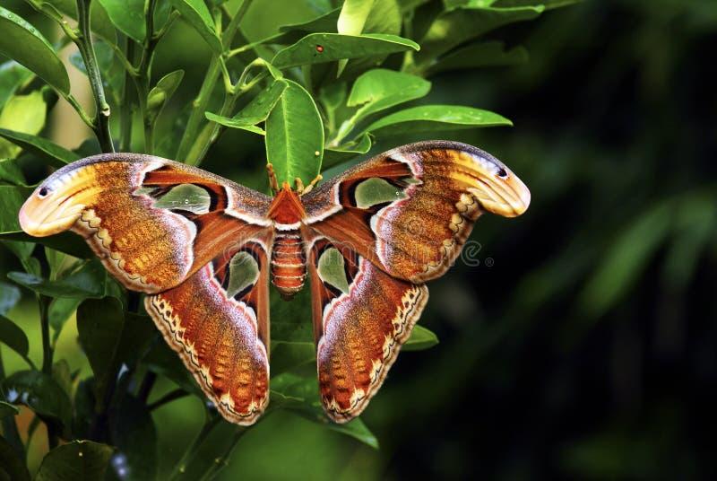 Mariposa gigantesca hermosa foto de archivo