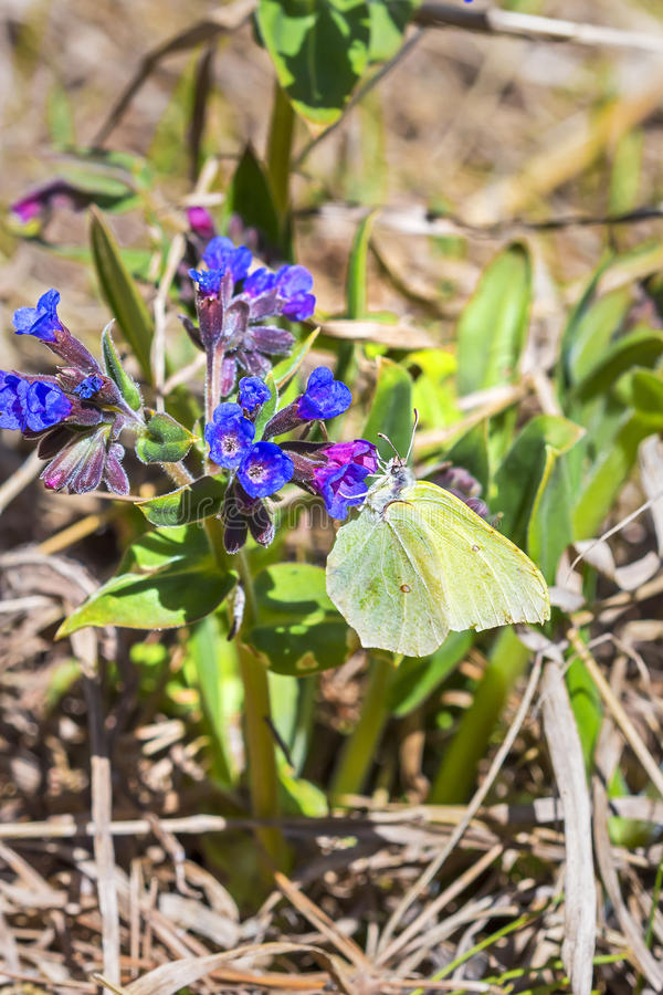 Mariposa Gonepteryx, el dacica Simonk de Pulmonaria de la planta foto de archivo libre de regalías