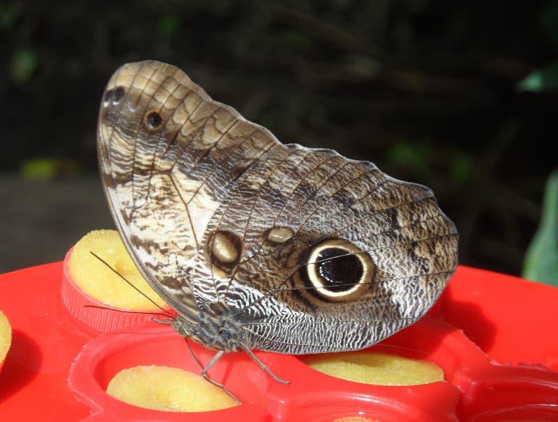 Mariposa grande agradable fotografía de archivo