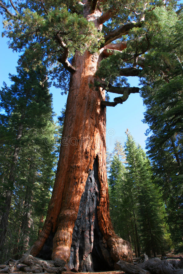 Mariposa Grove. Giant Sequoia in Mariposa Grove, Yosemite royalty free stock image