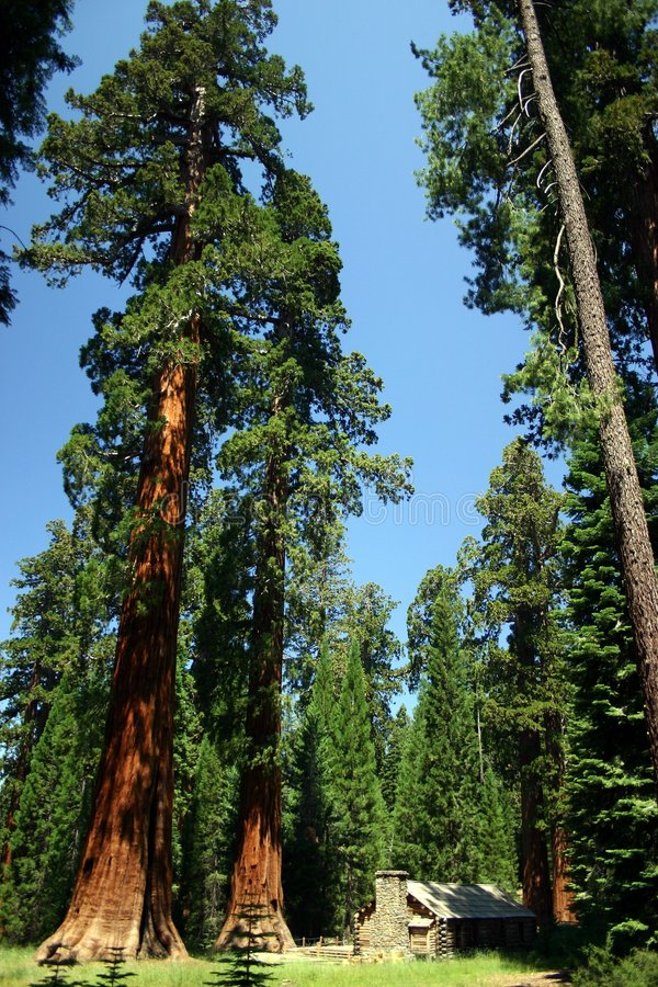 Mariposa Grove. In Yosemite National Park royalty free stock image