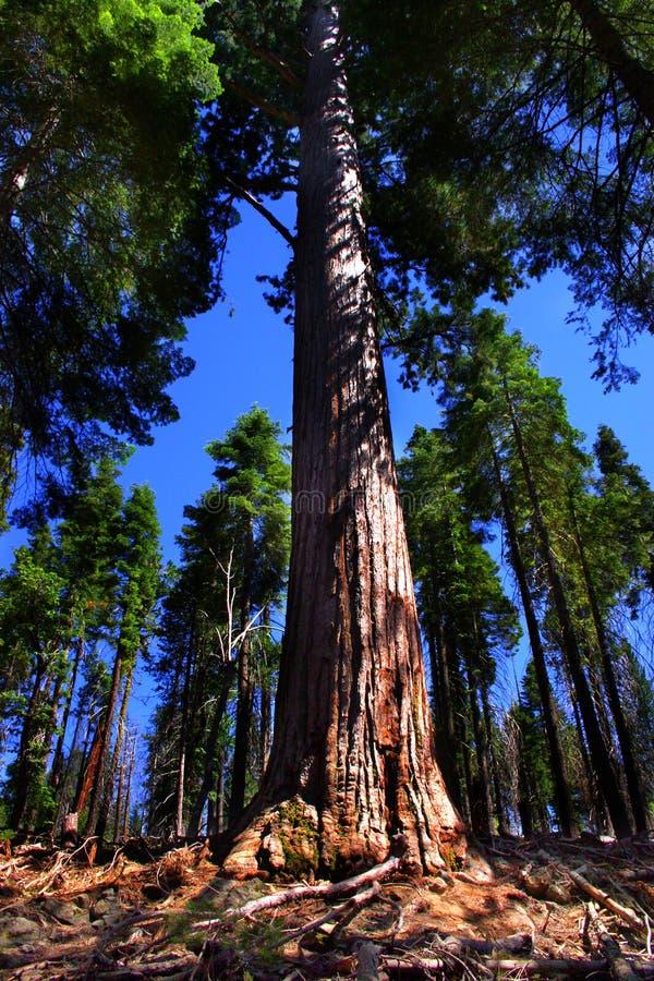 mariposa grove park narodowy Yosemite obrazy stock