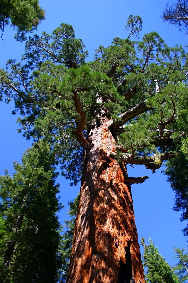 mariposa grove park narodowy Yosemite zdjęcia stock