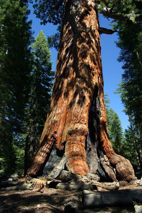 mariposa grove park narodowy Yosemite zdjęcie royalty free