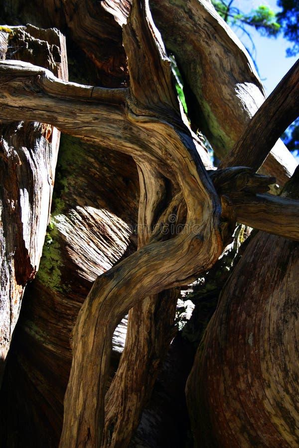 mariposa grove park narodowy Yosemite fotografia royalty free