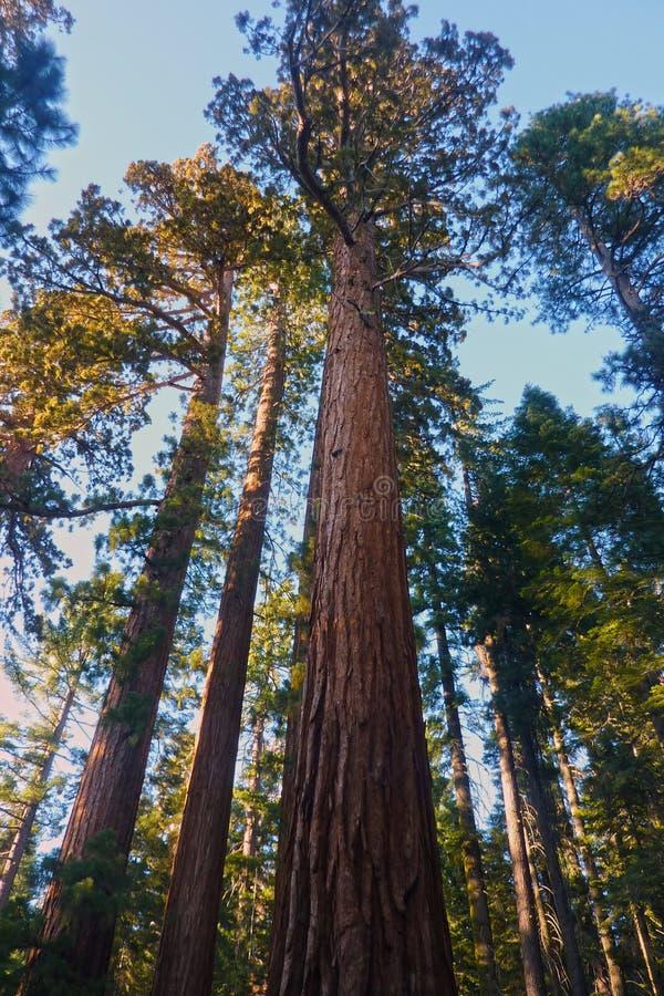 Mariposa Grove, Park Narodowy Yosemite, Kalifornia, Stany Zjednoczone Ameryki obrazy stock