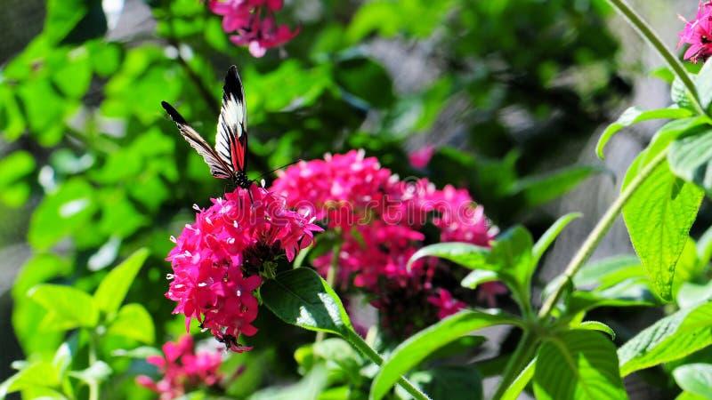 Mariposa, Heliconian, llave del piano foto de archivo libre de regalías