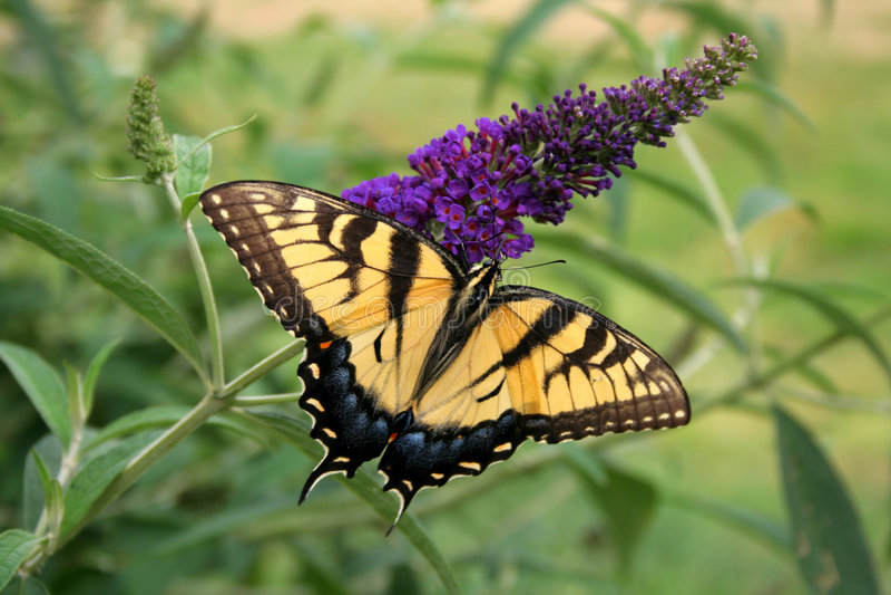 Mariposa hermosa fotografía de archivo