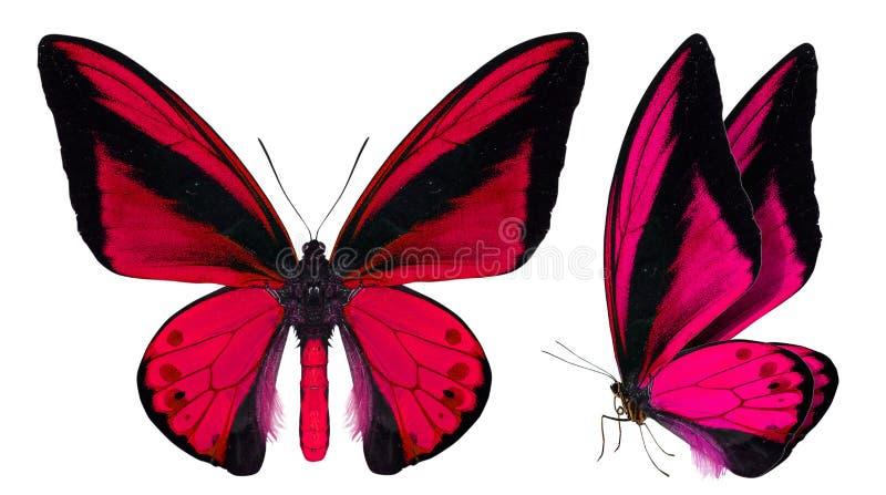 Mariposa hermosa aislada en blanco imágenes de archivo libres de regalías