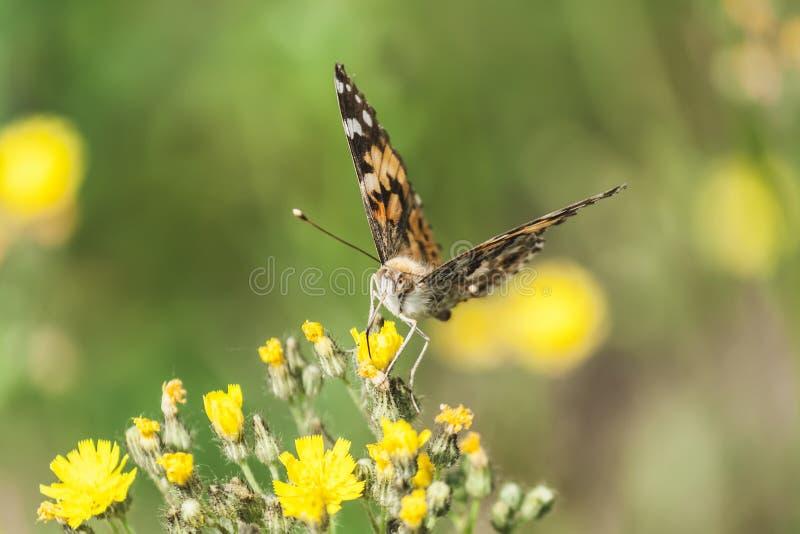 Mariposa hermosa con las alas grandes en los pétalos de flores amarillas imagenes de archivo