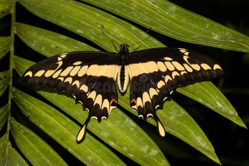 Mariposa hermosa de los thoas de Heraclides de la especie imagen de archivo