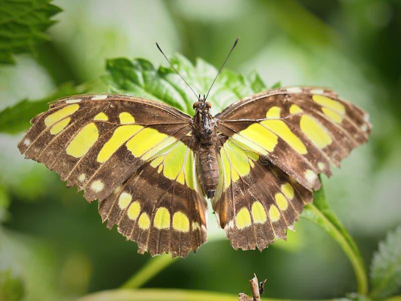 Mariposa hermosa en Chester imagen de archivo libre de regalías