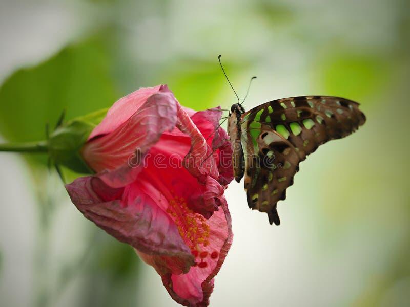 Mariposa hermosa en Chester fotografía de archivo libre de regalías