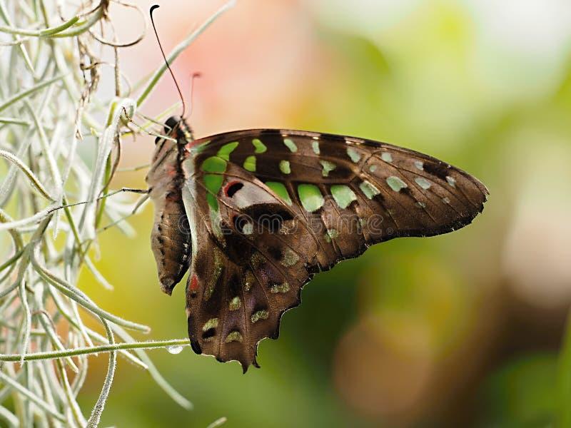 Mariposa hermosa en Chester fotografía de archivo