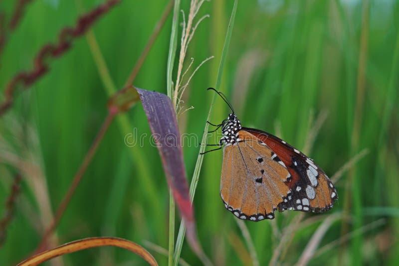 Mariposa hermosa en el campo de arroz imagen de archivo
