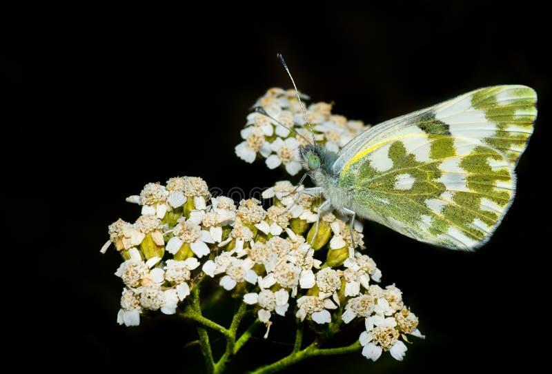Mariposa hermosa en flores salvajes imágenes de archivo libres de regalías