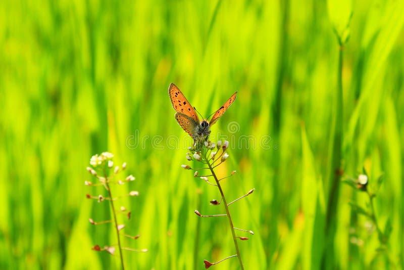 Mariposa hermosa en la flor imagen de archivo