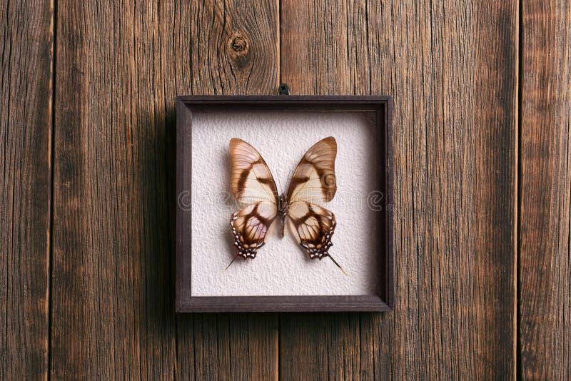 Mariposa hermosa en un marco de madera debajo del vidrio Una especie rara de mariposas fotografía de archivo libre de regalías