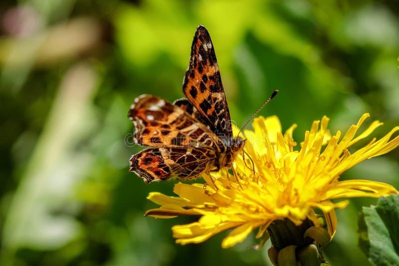 Mariposa hermosa en una flor amarilla del diente de león en un campo verde fotografía de archivo libre de regalías