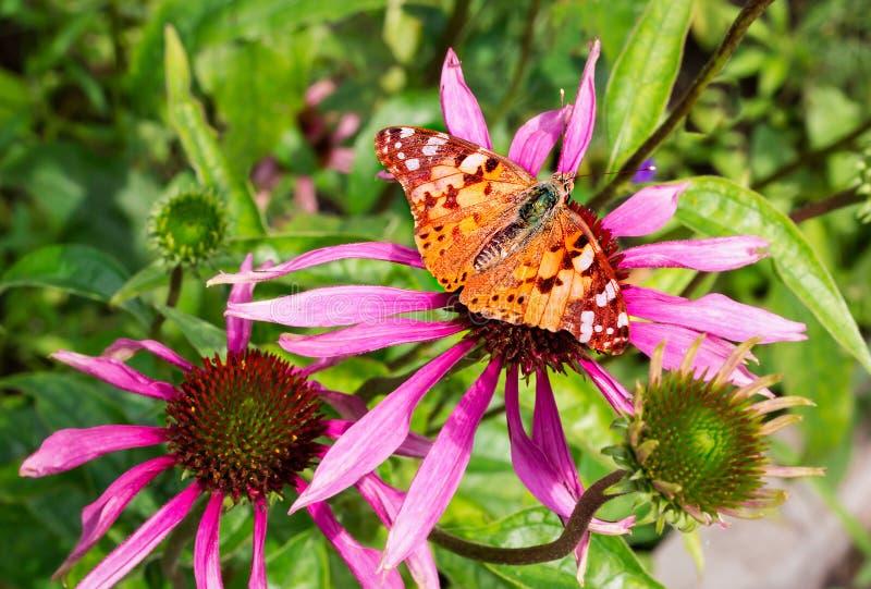 Mariposa hermosa en una flor brillante de un ekhinotseiya fotografía de archivo libre de regalías