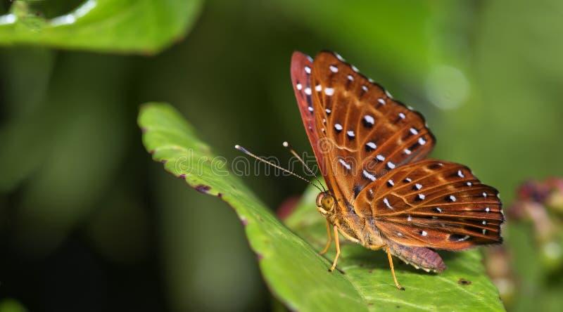 Mariposa hermosa, Punchinello común, flegyas de Zemeros foto de archivo libre de regalías