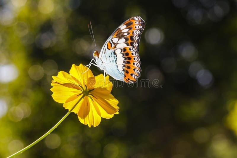Mariposa hermosa que descansa sobre la flor amarilla del cosmos fotografía de archivo
