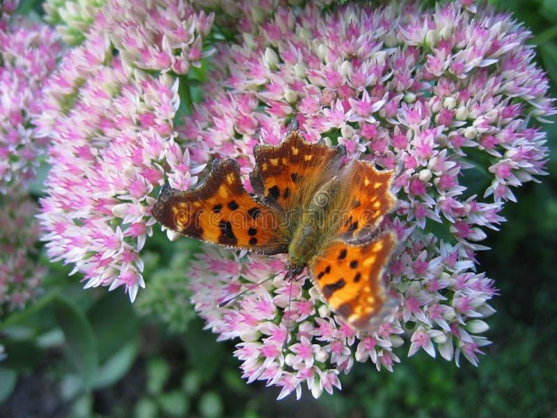 Mariposa III Fotos de archivo libres de regalías