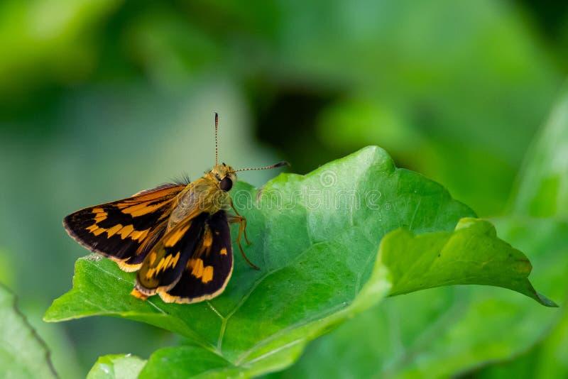 Mariposa india del capit?n del dardo que se encarama en la hoja en una posici?n prominente, soleada fotos de archivo libres de regalías