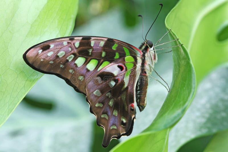Mariposa - Jay atado (agamemnon de Graphium) foto de archivo