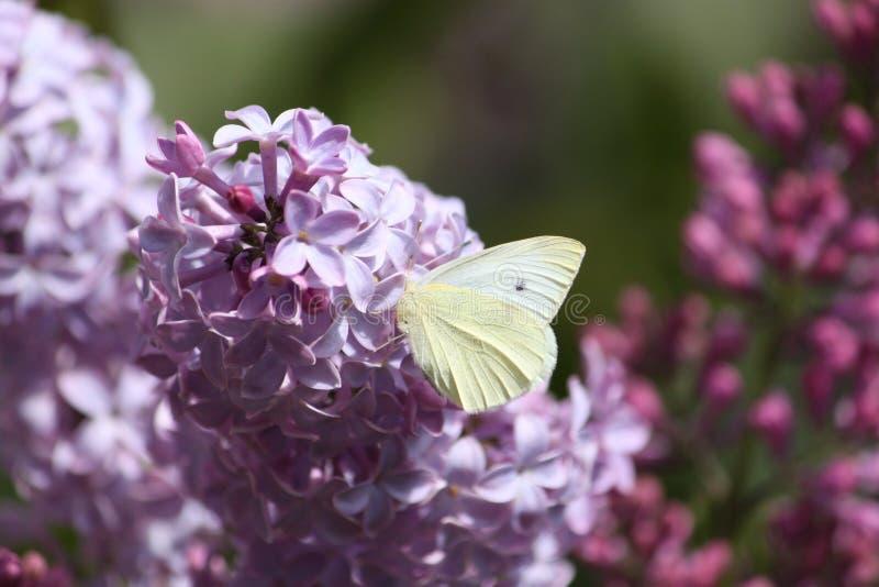 Mariposa Lilo y стоковые изображения rf