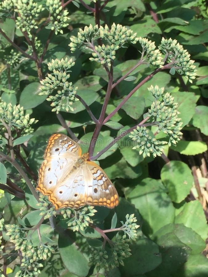 Mariposa llana imagen de archivo libre de regalías
