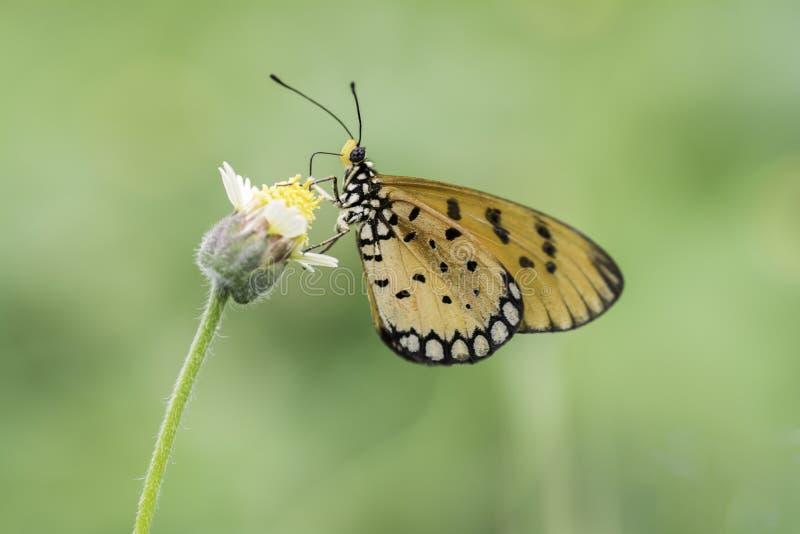Mariposa llana del tigre que chupa el néctar de las flores amarillas imagenes de archivo