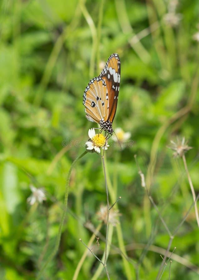 Mariposa llana del tigre y x28; Butterfly& x29 del chrysippus del Danaus; en una flor imagenes de archivo