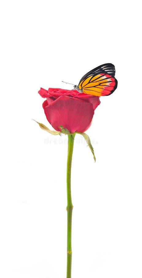 Mariposa llana hermosa en la flor de la rosa del rojo foto de archivo libre de regalías