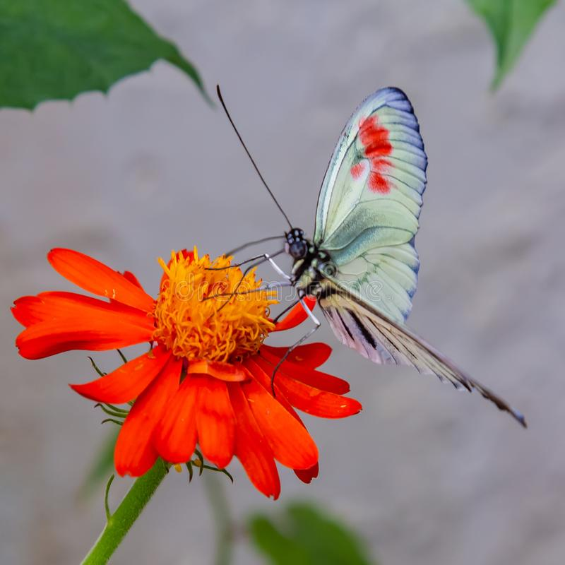 Mariposa longwing de Heliconius en la flor amarilla con los pétalos rojos foto de archivo