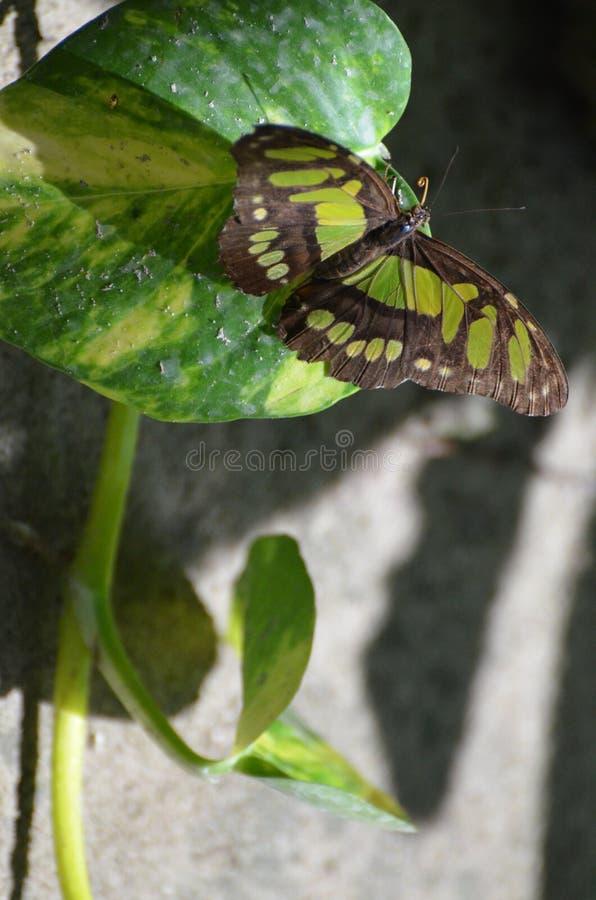 Mariposa magnífica de la malaquita que se relaja en la sombra imágenes de archivo libres de regalías