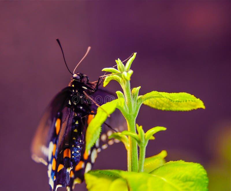 Mariposa manchada en una planta verde imágenes de archivo libres de regalías