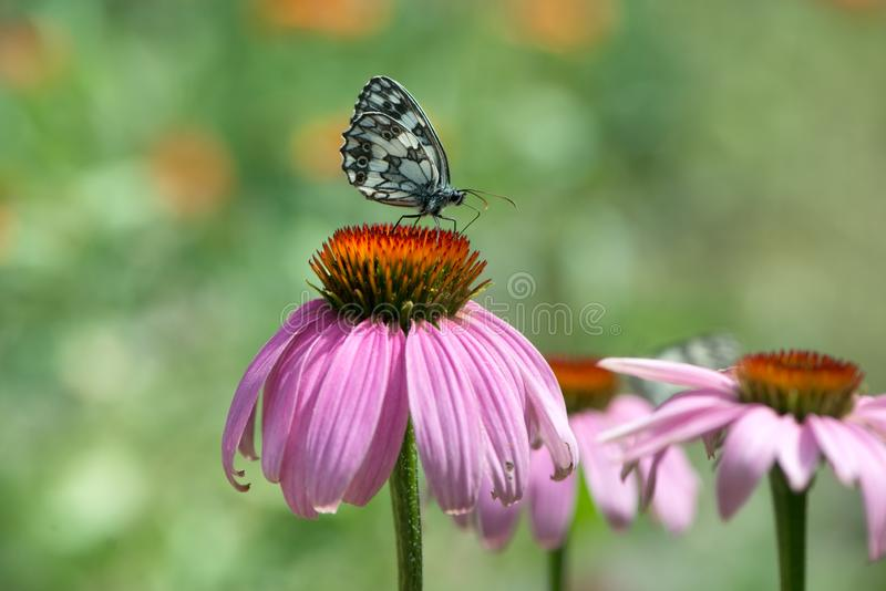 mariposa Melanargy Galatea en las flores del echinacea en un día de verano en el jardín fotos de archivo libres de regalías