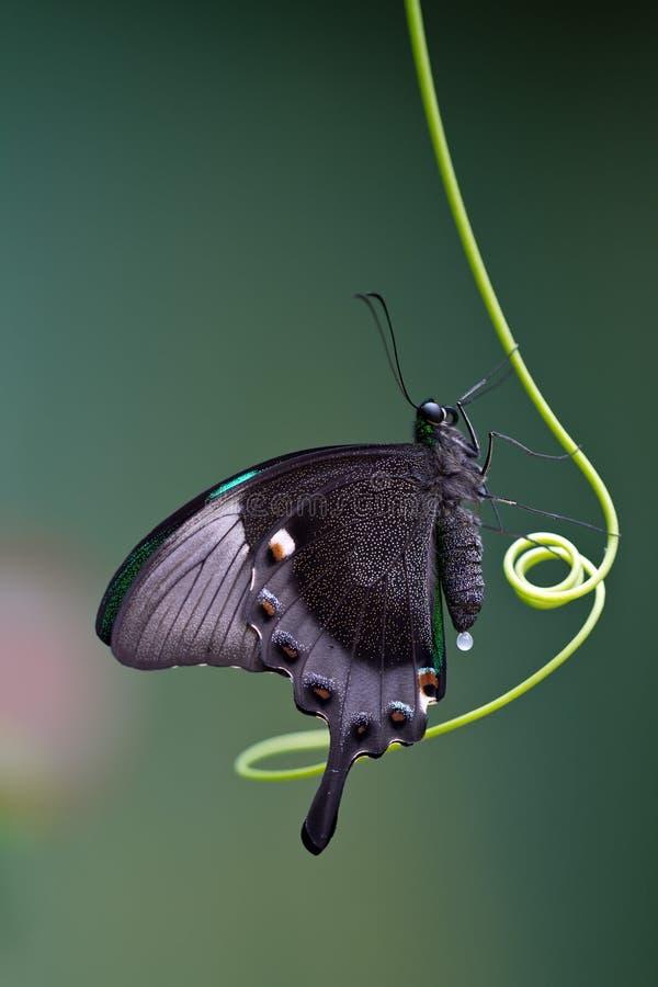 Download Mariposa Mito stock photo. Image of animal, insect, antennas - 18564060