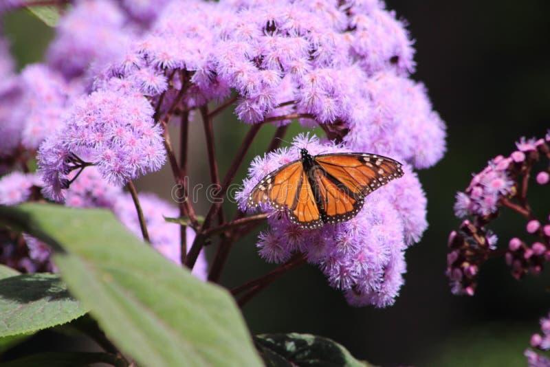 Mariposa monarca en flores foto de archivo libre de regalías
