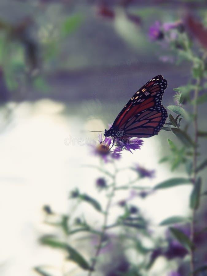 Mariposa monarca en las colmenas fotos de archivo