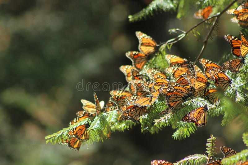 Mariposa Monarca /monarch butterfly. In Michoacan Mexico royalty free stock photos