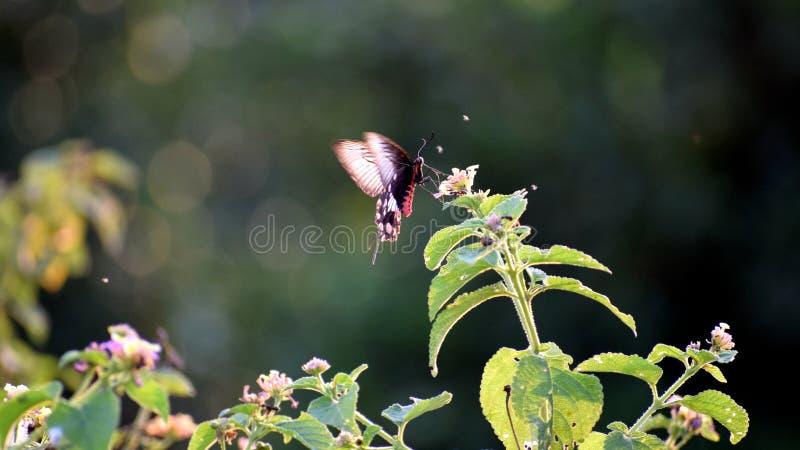 Mariposa negra foto de archivo