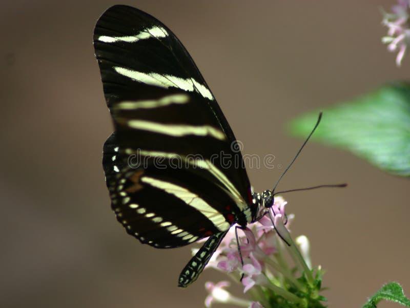 Mariposa negra imagen de archivo libre de regalías