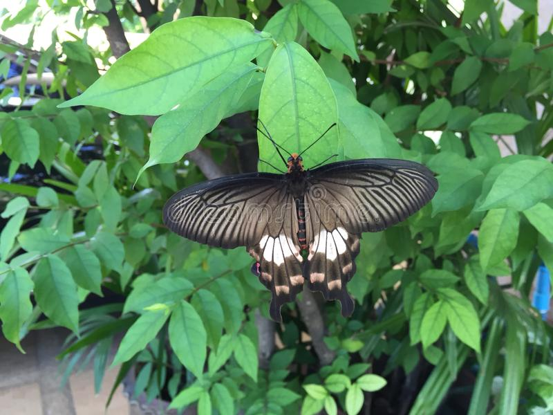 Mariposa negra fotos de archivo