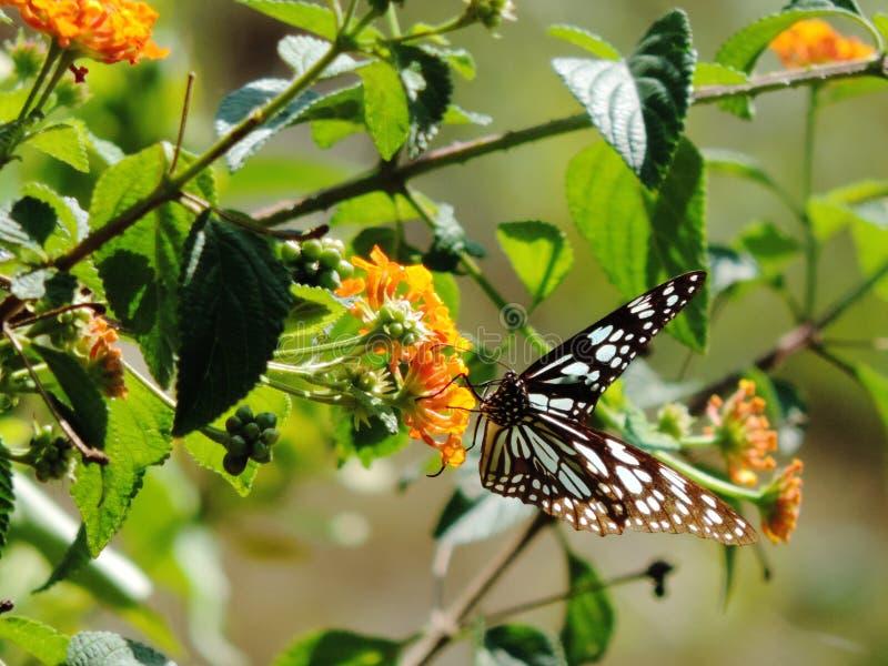 Mariposa negra foto de archivo libre de regalías