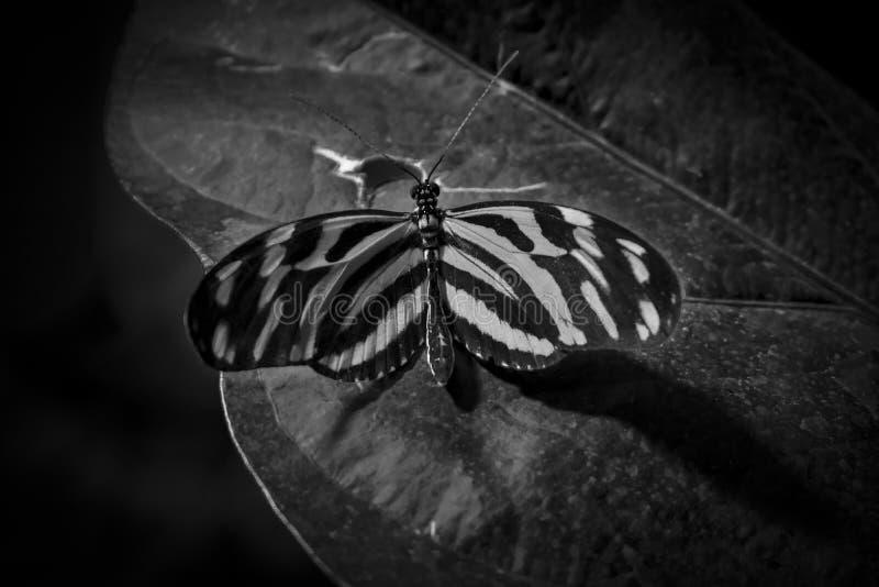 Mariposa negra/blanco con mirada retra fotos de archivo libres de regalías